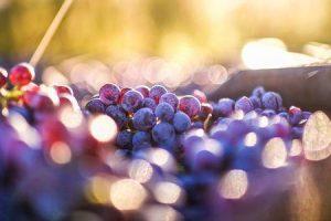 16 vantagens de comer uvas