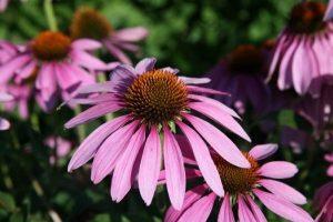 Echinacea erva para clamídia