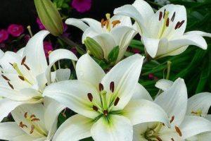 benefícios da flor de lírio
