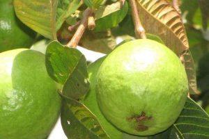benefícios das folhas de goiaba para acne capilar e distúrbios sanguíneos