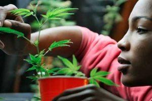 benefícios para a saúde e efeitos a curto e longo prazos da cannabis