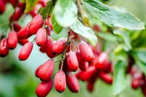 benefícios surpreendentes de saúde de bérberis