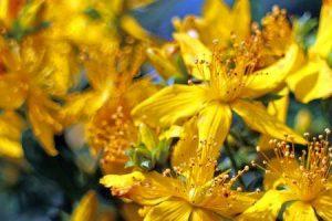 flor de maracujá e erva de São João para ansiedade e depressão