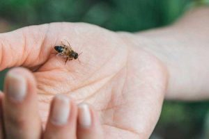 se você é alérgico a picadas de abelha você é alérgico a mel