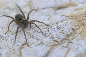 sintomas de picada de aranha hobo e sua prevenção de prognóstico de tratamento