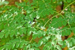 benefícios da árvore moringa