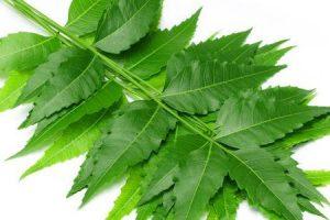 benefícios das folhas de azadirachta indica ou folhas de nim