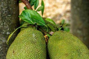 benefícios para a saúde de sementes de jaca e jaca