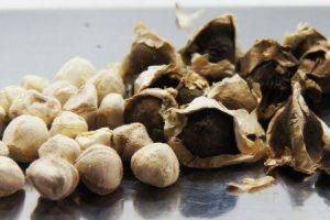 benefícios para a saúde de sementes de moringa e maneiras de usá-lo
