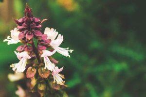 fitoterapia ou fitoterapia usa as capacidades medicinais dos benefícios da filosofia da história das plantas
