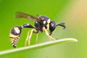 picada de vespa