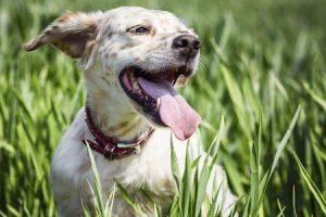 respiração do cão ou ofegante respiração do cão de fogo
